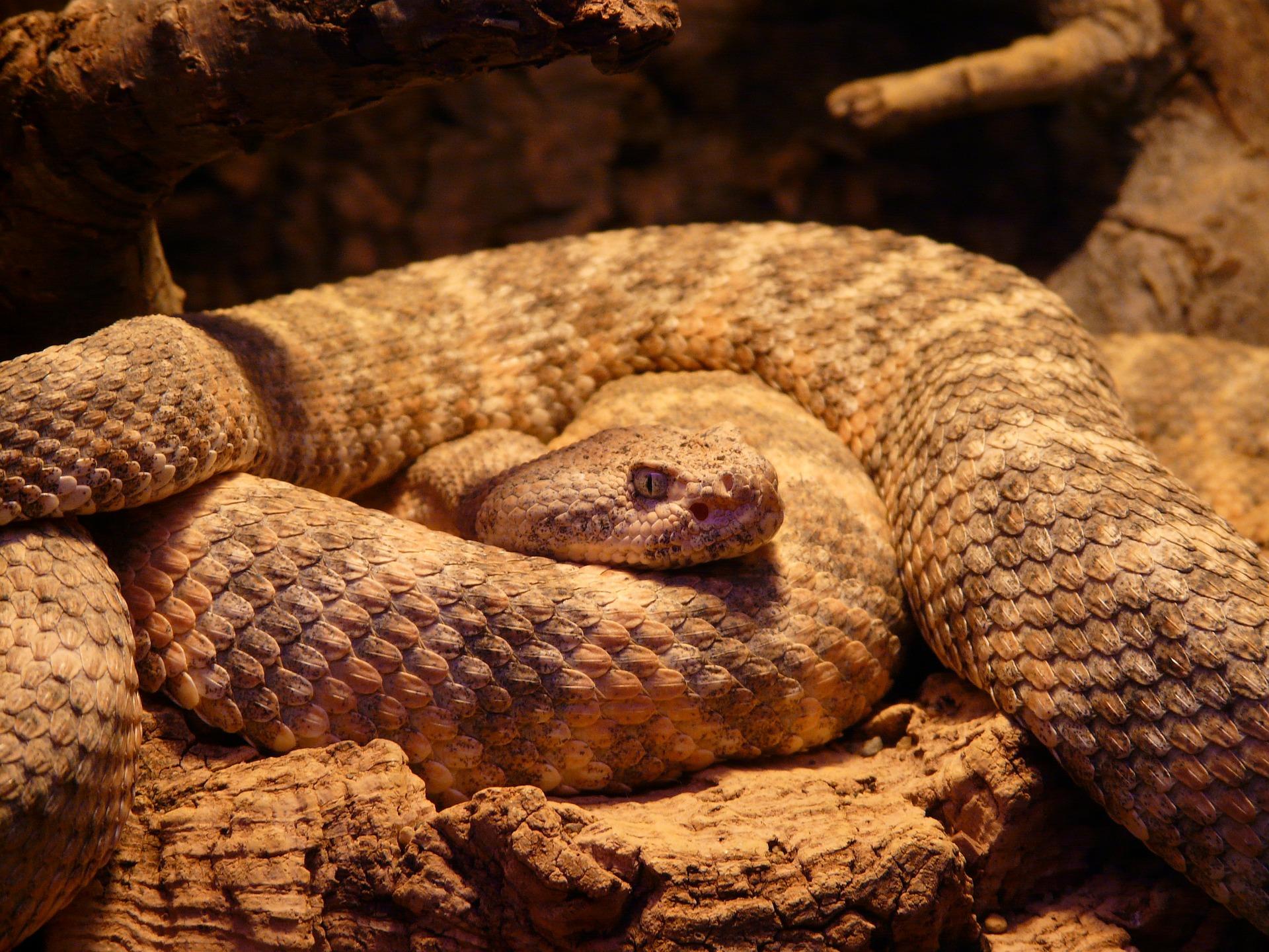 spotted-rattlesnake-54002_1920